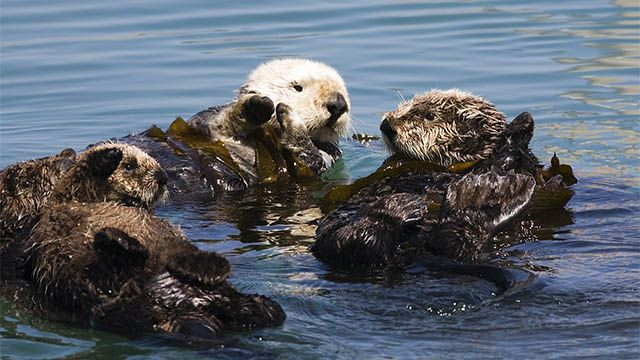 three otters in the Monterey Bay