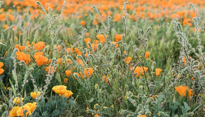 field of california poppies