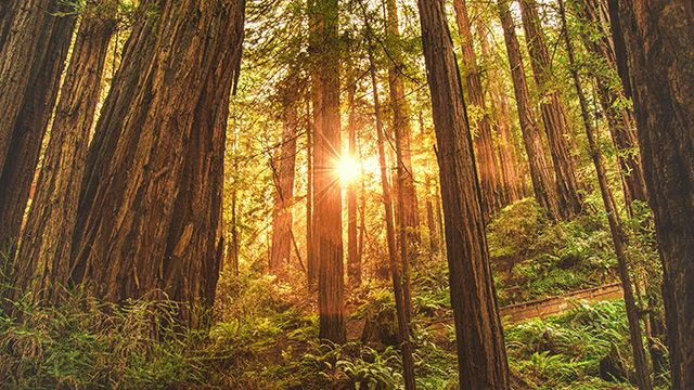 sunset in the California redwoods
