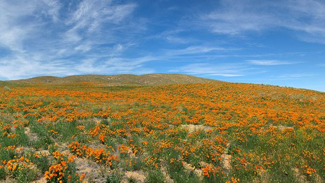 Field of California poppies at Antelope Valley California Poppy Reserve