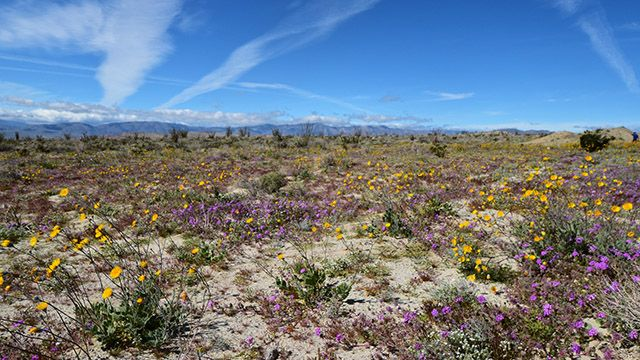spring flowers at Anza Borrego Desert State Park