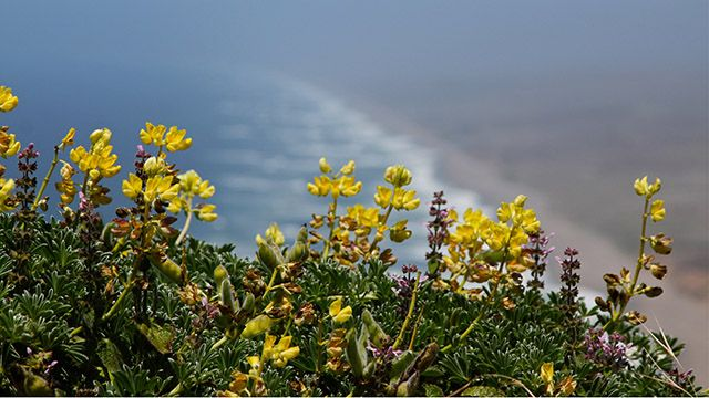 Wildflowers near the ocean at Point Reyes National Seashore